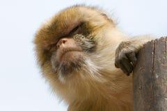 Macaque masculino de Barbary (sylvanus de Macacus) Fotos de archivo libres de regalías