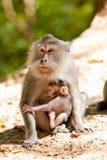 Macaque met jongelui Stock Foto
