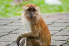 Macaque met lange staart Stock Foto