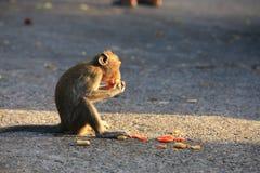 Macaque met lange staart Royalty-vrije Stock Fotografie