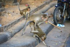 Macaque met lange staart Royalty-vrije Stock Foto's