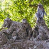 Macaque met lange staart (Macaca-fascicularis) in Heilig Aapbos Stock Fotografie