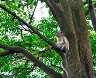 Macaque met lange staart van aapkra Stock Fotografie