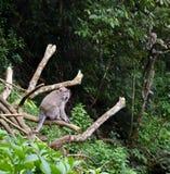 Macaque met lange staart van aapkra stock foto