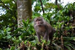 Macaque met lange staart van aapkra Royalty-vrije Stock Afbeelding