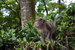 Macaque met lange staart van aapkra stock afbeeldingen
