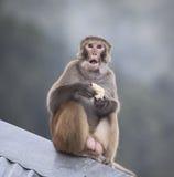 Macaque mit geöffnetem Mund Lizenzfreie Stockfotos