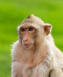 Macaque mongkey closeup Royalty Free Stock Photo