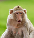 Macaque mongkey closeup Stock Photos