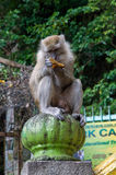 Macaque monkey Royalty Free Stock Image