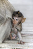 Macaque monkey. A macaque monkey in the arms of his mother , Bali, Indonesia Stock Image