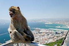 Macaque Monkey. Barbary Macaque monkey with city of Gibraltar in the background Stock Image