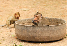 Macaque monkey. A macaque monkeys finding food Stock Images