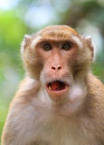 Macaque monkey. Close-up a macaque monkey Stock Photo