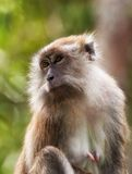 Macaque monkey Stock Photos