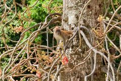 Macaque monkey Stock Image