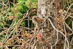 Macaque monkey Stock Image