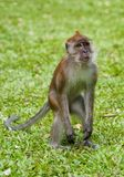 Macaque monkey Stock Photography