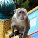 Macaque monkey Royalty Free Stock Photo