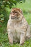 Macaque monkey Royalty Free Stock Photos