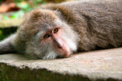A macaque monkey Stock Images