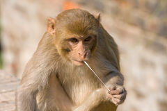 Macaque monkey. Monkey and chewing gum, India Stock Photo