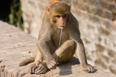 Macaque monkey. Monkey and chewing gum, India Royalty Free Stock Photos