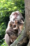 Macaque monkey. An old macaque monkey and babies sitting in the trees.Sichuan province,China Stock Photo