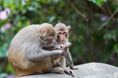 Macaque monkey. Mother with baby royalty free stock image