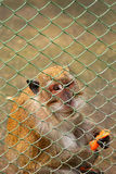 Macaque monkey. Behind a fence eating Stock Photography