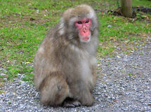 Macaque monkey. In Landskron, near Villach Royalty Free Stock Photos