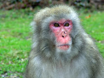 Macaque monkey. In Landskron, near Villach stock photo