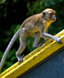 Macaque monkey. At batu caves Stock Photography