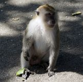 A Macaque monkey also known as Rhesus Monkey . Royalty Free Stock Photo