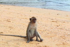 Macaque monkey on the Ao Nang beach Royalty Free Stock Photography