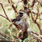 Macaque Stock Photography
