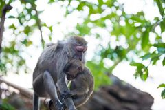 Macaque monkey with baby. Cute animal family. Macaque monkey sitting on bamboo railing and holding her baby royalty free stock photo