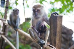 Macaque monkey with baby. Cute animal family. Macaque monkey sitting on bamboo railing and holding her baby royalty free stock images