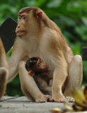 Macaque monkey with baby feeding,borneo,asia Royalty Free Stock Image