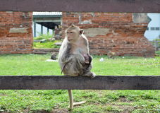 Macaque monkey with baby Royalty Free Stock Photos