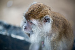 Macaque monkey. In Bako national park in Borneo, Malaysia stock photo