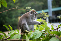 Macaque monkey. In Bako national park in Borneo, Malaysia royalty free stock photo