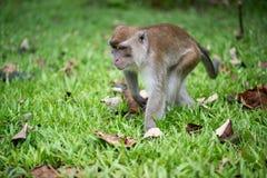 Macaque monkey. In Bako national park in Borneo, Malaysia stock photos