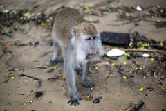 Macaque monkey. In Bako national park in Borneo, Malaysia stock photography
