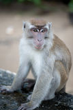 Macaque monkey. In Bako national park in Borneo, Malaysia stock images