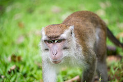 Macaque monkey. In Bako national park in Borneo, Malaysia royalty free stock image