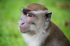 Macaque monkey. In Bako national park in Borneo, Malaysia royalty free stock images