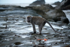 Macaque monkey. In Bako national park in Borneo, Malaysia royalty free stock photography