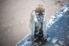 Macaque monkey. In Bako national park in Borneo, Malaysia stock image