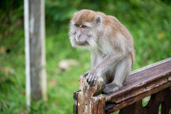 Macaque monkey. In Bako national park in Borneo, Malaysia royalty free stock photos